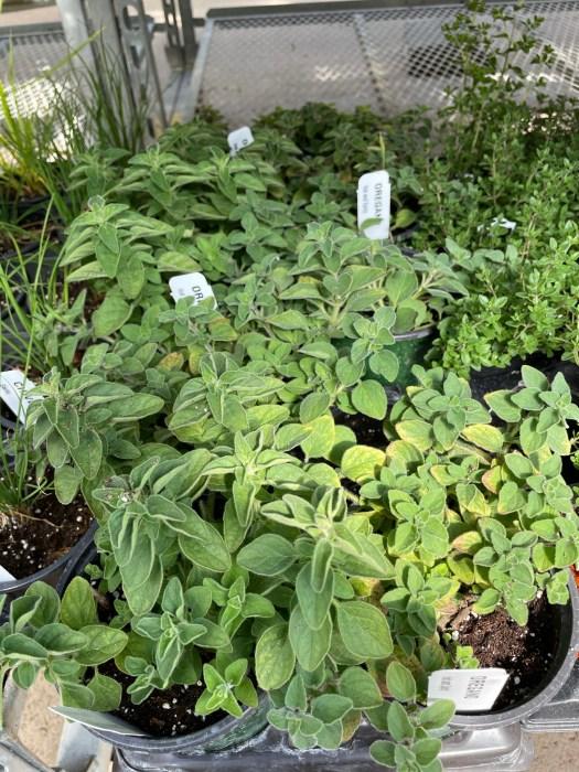 Herbs $3.99 4 inch pots