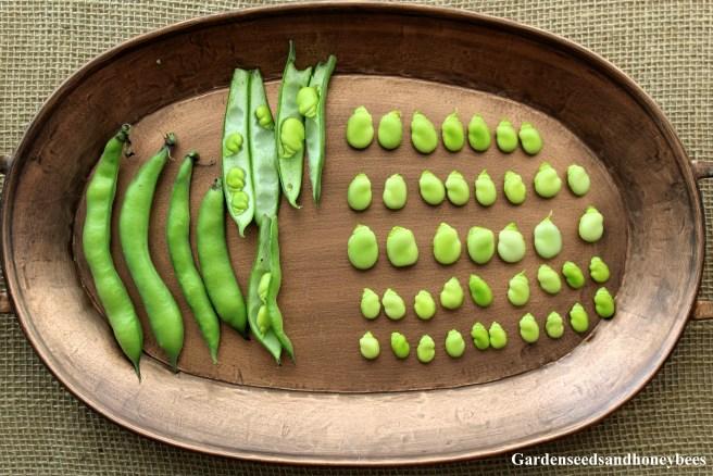 Growing Fava Beans