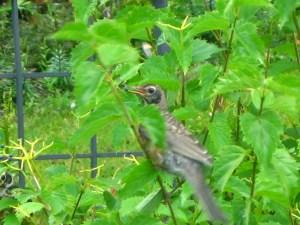 robins eating berries