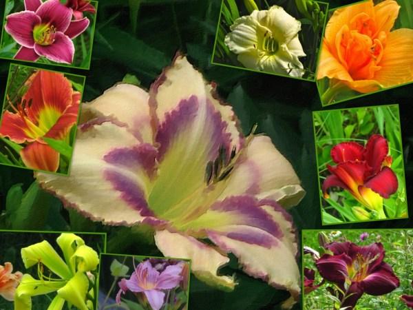 daylily july
