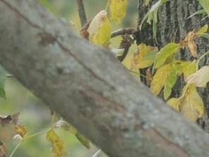 ash trees fading
