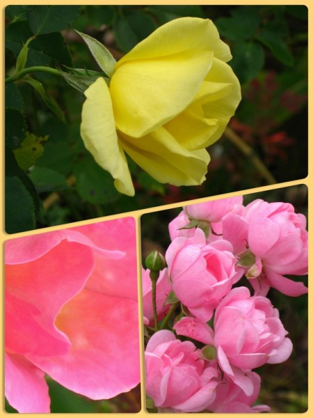 oct roses