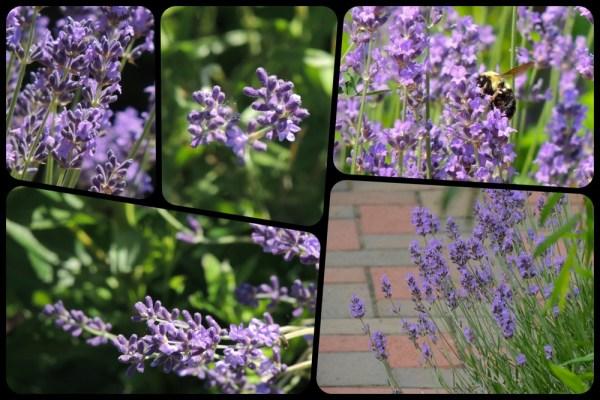 july lavender