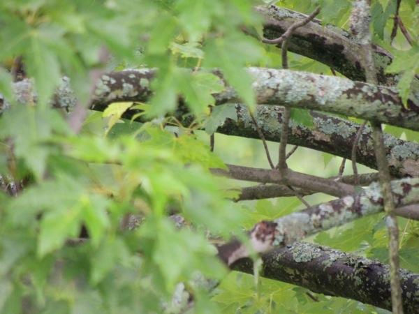 Lichen My Maple