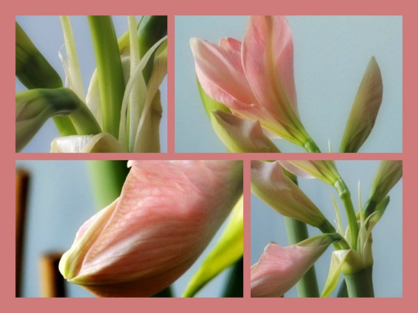amaryllis opening collage