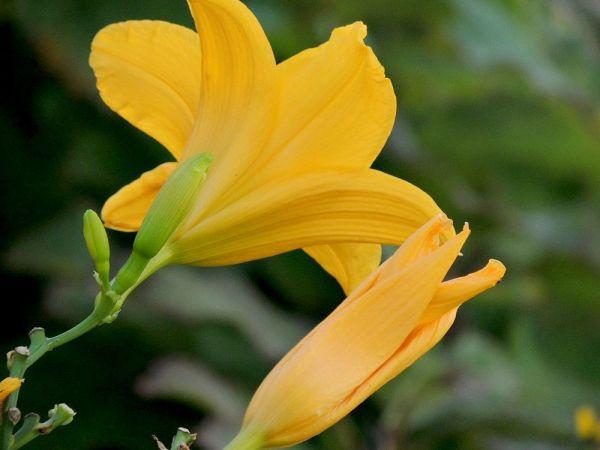 aug daylily