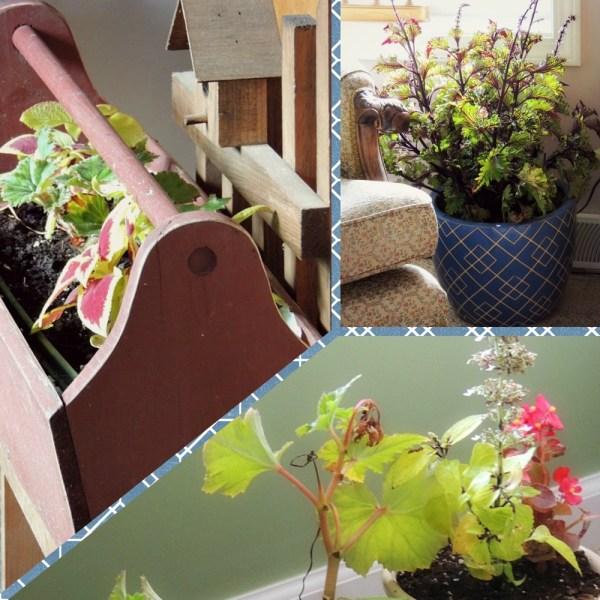 indoor coleus begonia collage