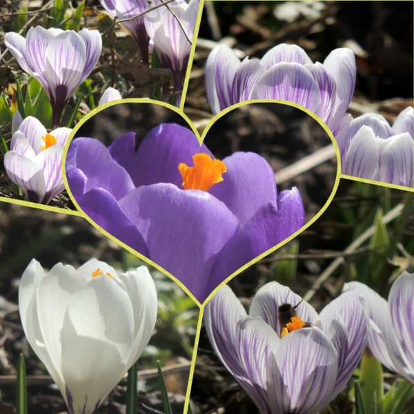 crocus collage (1)