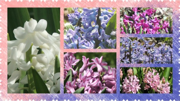 hyacinth collage