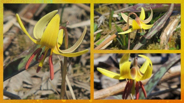 trout lily collage