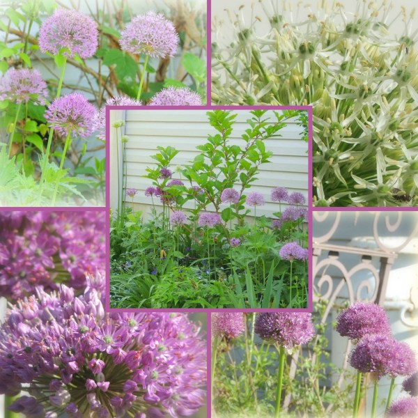 allium collage