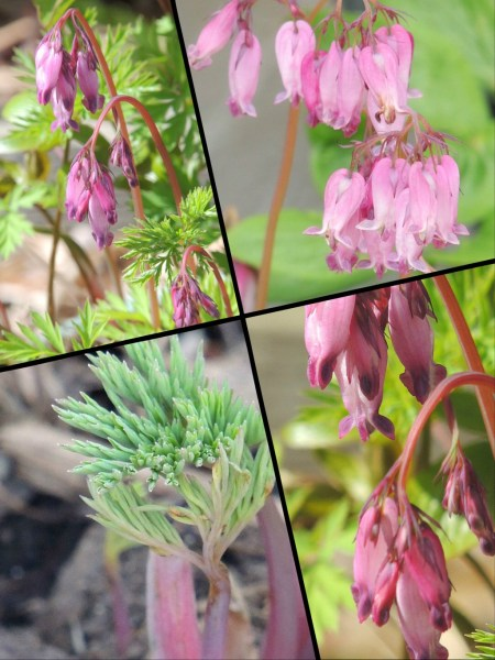 bleeding heart collage