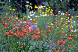 Crocosmia-Meadow