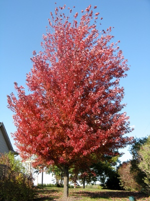 Autumn Blaze - Maple (fremanii) Image