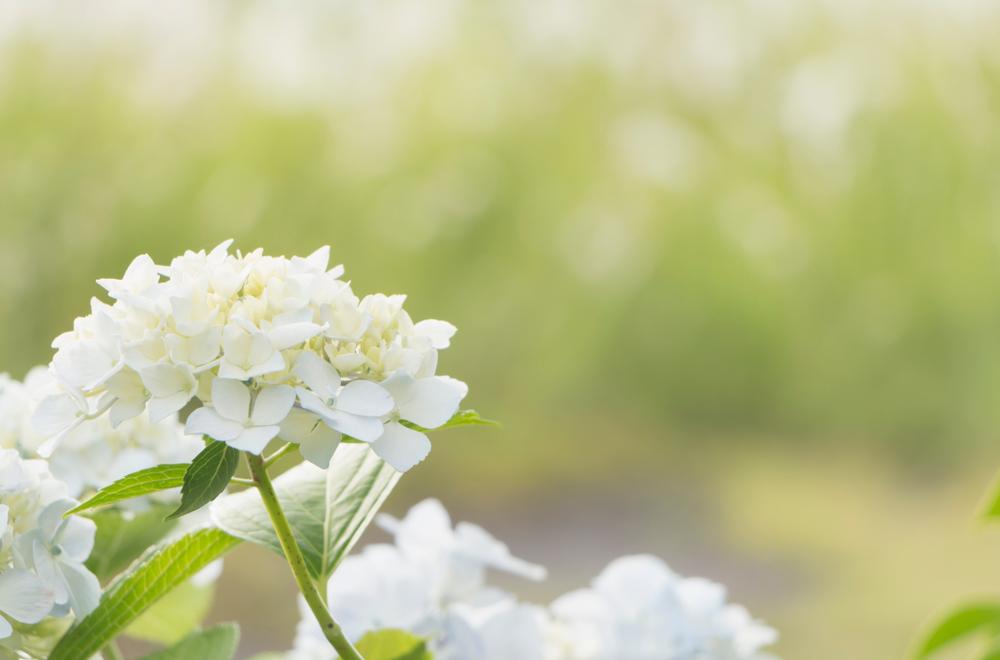 hydrangea annabelle blooms