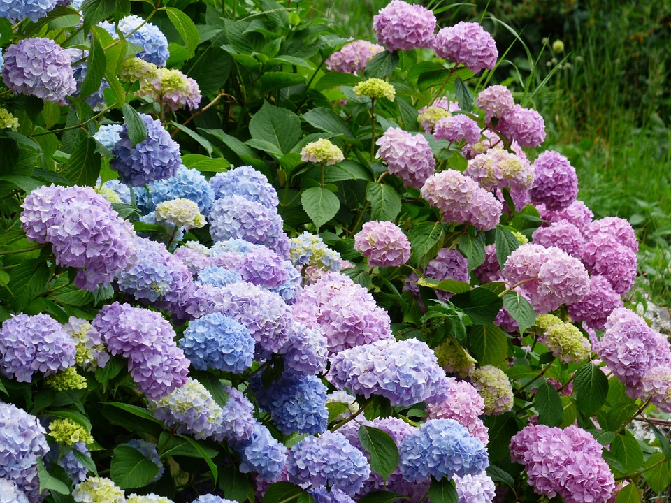 hydrangeas hedge