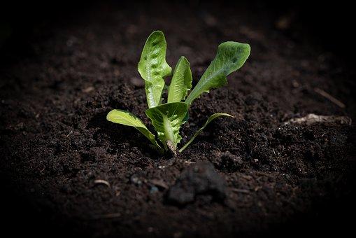 lettuce-seedling