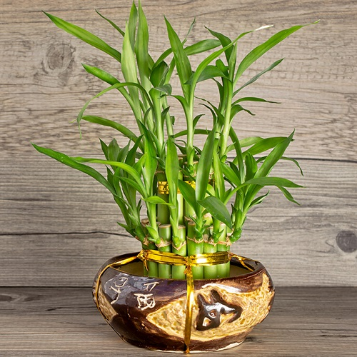 Bamboo Plants Are The Lucky Plants