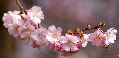 Cherry Blossom Season In Japanese Culture