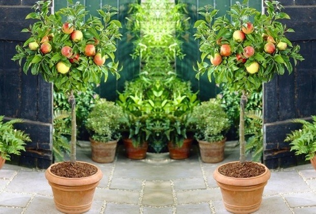 Miniature Fruit Trees Allow To Grow Your Own Fruit ...