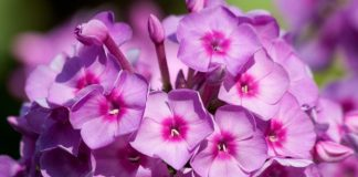 Your Guide to the Garden Phlox