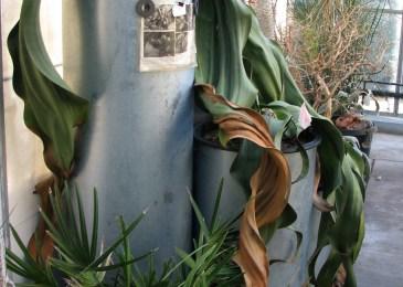 Welwitschia mirabilis gardens nrsery