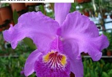 Growing Cattleya Orchids as House Plants