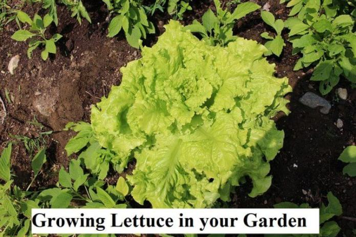 Growing Lettuce in your Garden