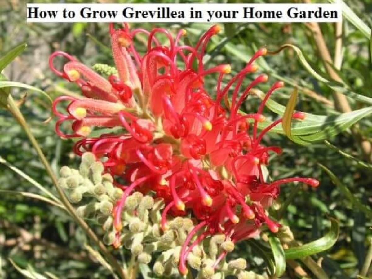 How To Grow Grevillea In Your Home Garden Gardens Nursery