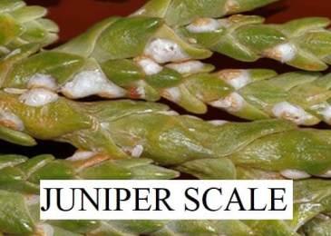 JUNIPER SCALE