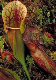 Sarracenia Pitcher Plants
