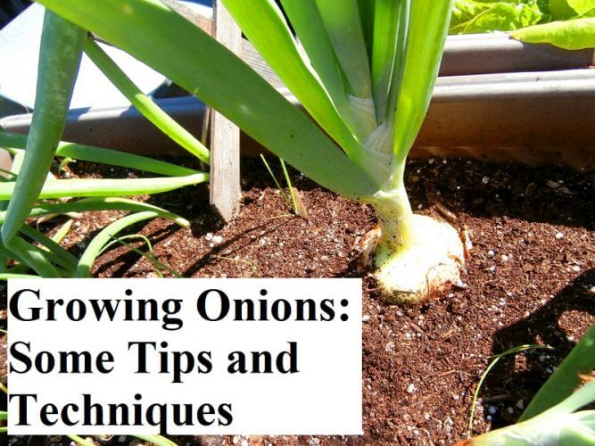 Growing Onions: Some Tips and Techniques