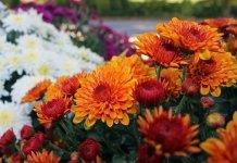 Glorious Garden Mums