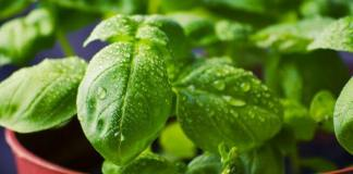 Basil Growing Guide