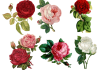 Best Beautiful Antique Roses in your Home Garden