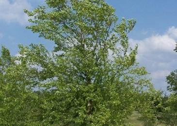 Birch Betula nigra