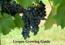 Grapes Growing Guide