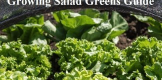 Growing Salad Greens Guide