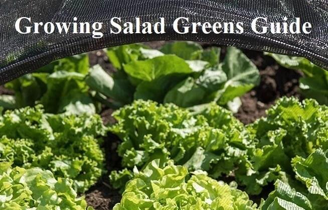 Growing Salad Greens Guide