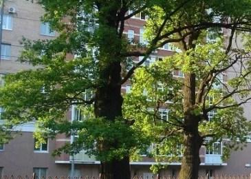 Oaks (Quercus_robur)