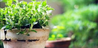 Oregano Growing Guide in your Home Garden