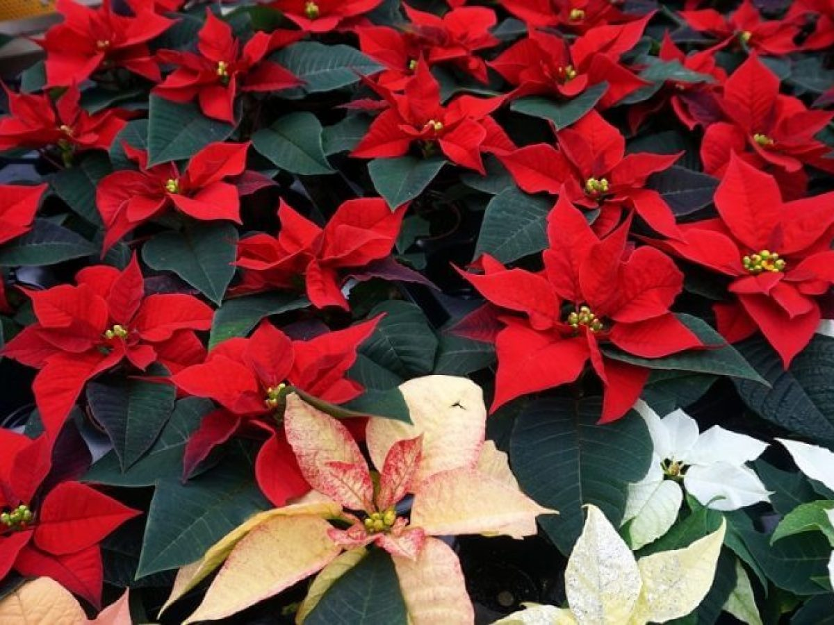 Poinsettia Plant Care And Growing Tips Gardens Nursery