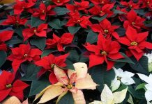 Poinsettia Plant: Care and Growing Steps