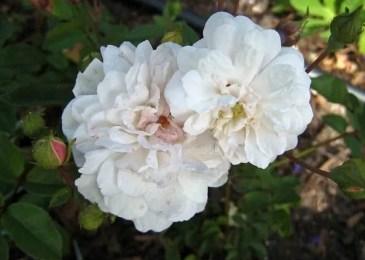 Polyantha rose