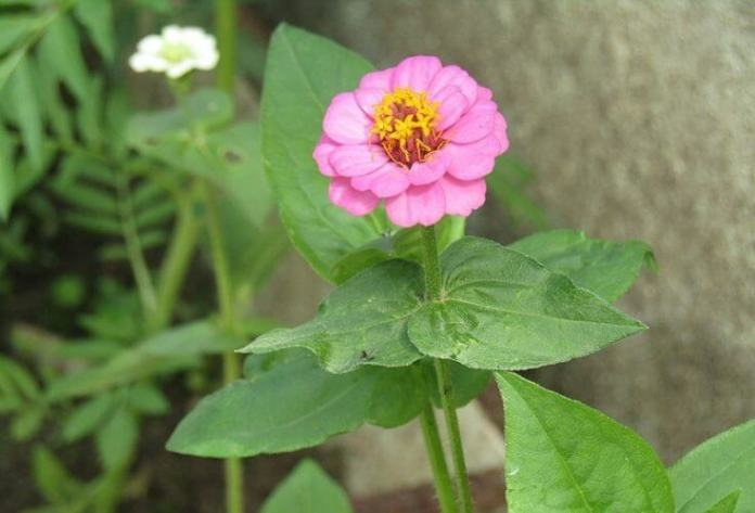 Zinnias: How to Plant, Grow, and Care for Zinnia Flowers