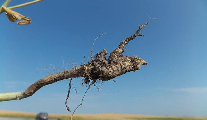 all Think You Should Know About Disease ClubRoot
