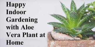 Happy Indoor Gardening with Aloe Vera Plant at Home