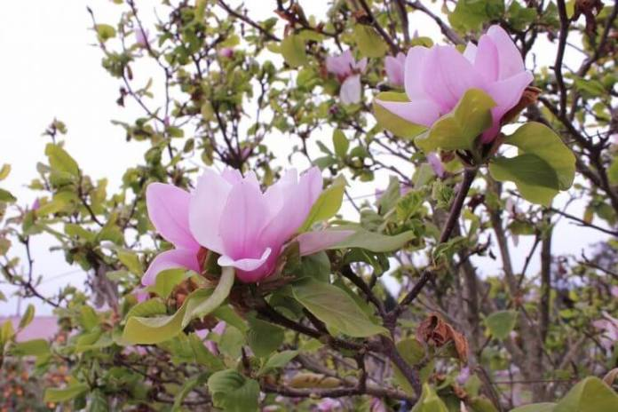 Now is a Good Time for Planting Saucer magnolia