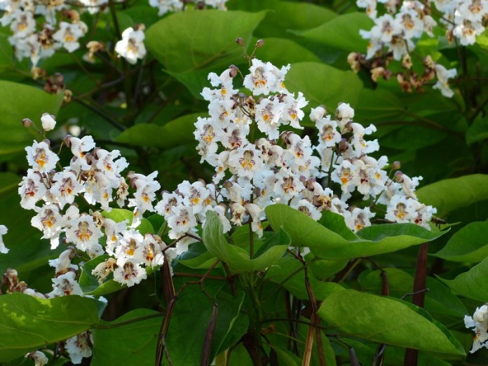 Try the Attractive Confederate Jasmine Vine