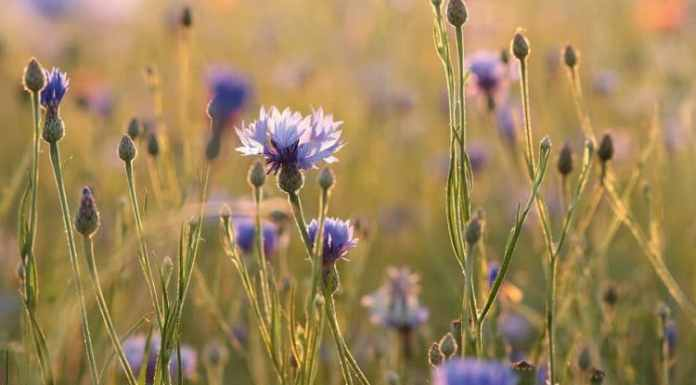 Grow Colors and Style With Cornflowers